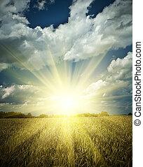 sumrise, képben látható, egy, búza terep
