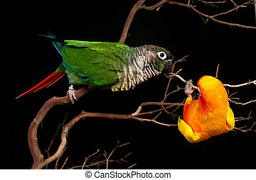 Sun and Green Cheek Conures Playing - 2 Conures Playing on a...