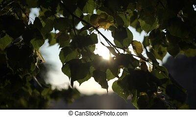 Sun at sunrise or sunset through tree leafs