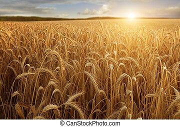 Sun at the wheat field - A wheat field with the sun touching...