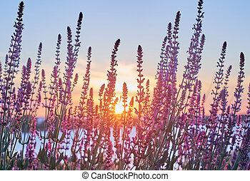Sun beams and asalvia plants