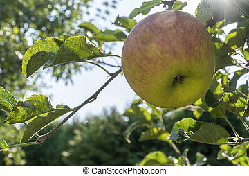 sun beams behind an apple on the tree