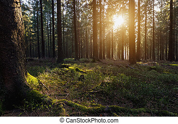 sun beams in the forest - sunlight shines in to the deep...