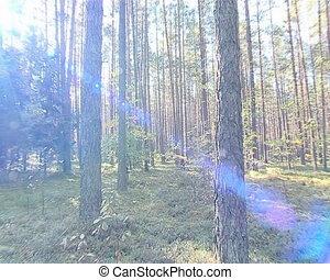 Sun beams light through dense coniferous forest trunks.