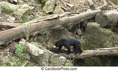 Sun bear also known as a Malaysian bear (Helarctos malayanus)