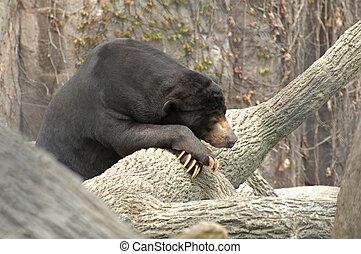 Sun Bear at Rest - Sun Bear or Ursus malayanus lying on a...