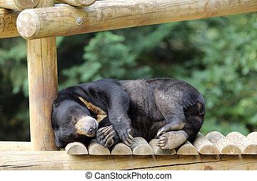 Sun bear, Helarctos malayanus - Details of a sleeping sun ...
