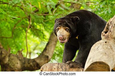 Sun bear (Helarctos malayanus) on a log