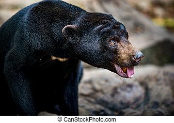 Sun Bear Helarctos malayanus profile Close-up