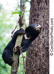 Sun bear, Helarctos malayanus, the smallest bear in the ...