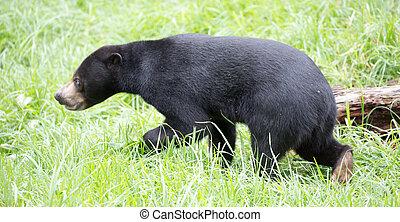 Sun Bear (Helarctos malayanus) - The sun bear (Helarctos ...
