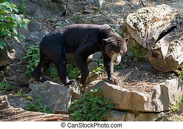Malaysian bear (Helarctos malayanus) - Sun bear, known as a ...