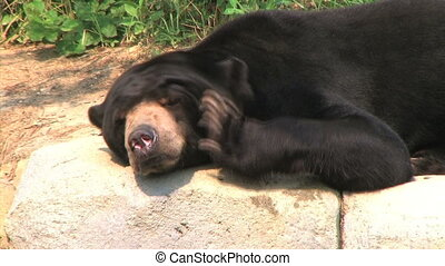 Sun Bear Scratching Head - Close-up of sun bear scratching...