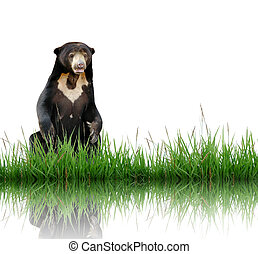 sun bear with green grass isolated