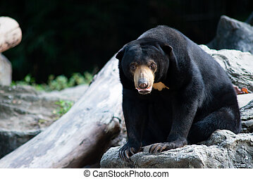 Sun bears grow to only about half the size of an American ...