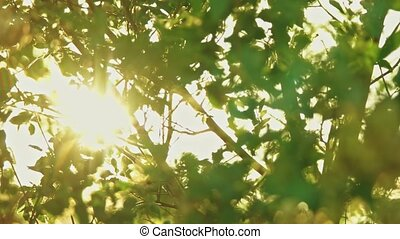 Sun blinking in elm tree branches pan shot in slomo - Sun...