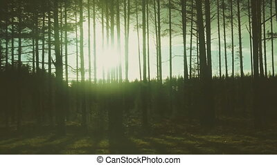 Sun blinking over the forest. Sunset.