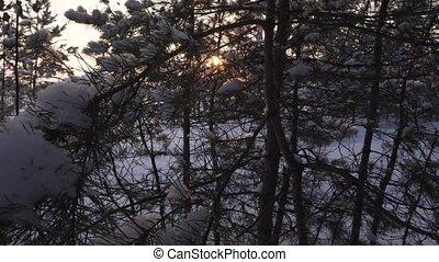 Sun breaks through snow-covered pine branch