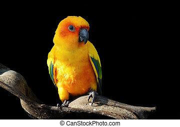 sun conure, beautiful yellow parrot bird isolated on black...