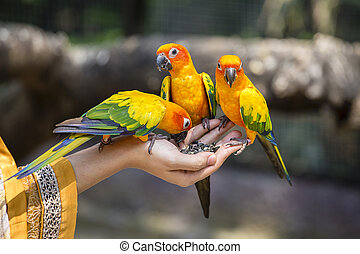 Sun Conure Parrot eating on hand