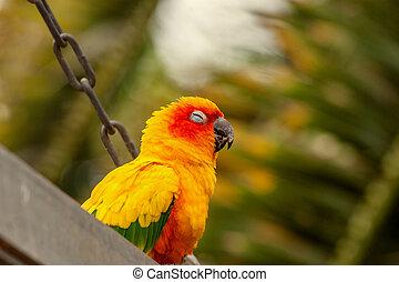 Sun Conure parrot on a swing