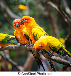 Sun conure parrot on the tree branch eats food