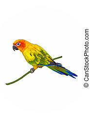 Sun conure parrot isolated on white background