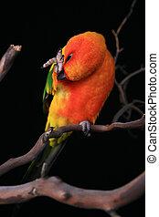 Sun Conure Parrot Preening