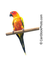 Sun Conure Parrot Screaming on a Br
