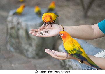 Sun Conure Parrots Beautiful Parrot eats food on hand man