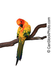 Sun Conure Preening on a Branch