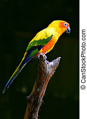 Sun conure sit on a tree brance