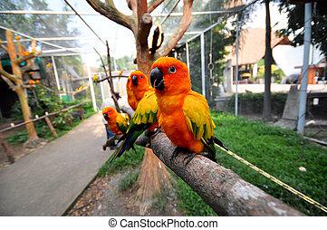 Sun Conure - The Sun Parakeet or Sun Conure is a...