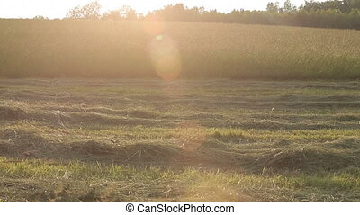 Sun Evening Hayfield Grass Lens Flare - Backlit grass in a...