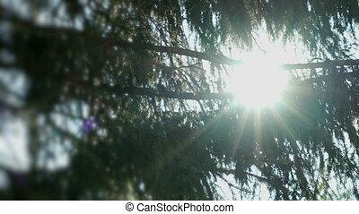 Sun flare shining through branches of fir trees
