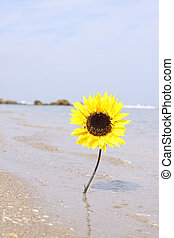 Sun Flower Beach - A single sunflower on the beach.