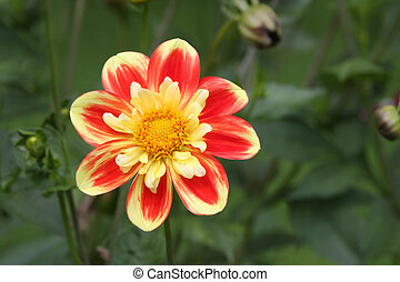 Sun Flower - Beautiful flower in red and yellow shines like...