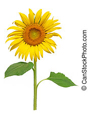 Sun flower blooming