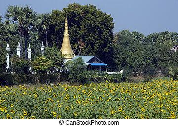Sun Flower Crop and Buddhist Stupa - Myanmar