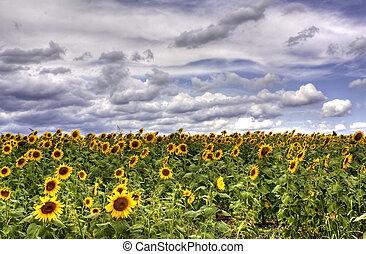 sun flower field - HDR