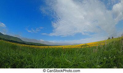 Sun flower field in a sunny day