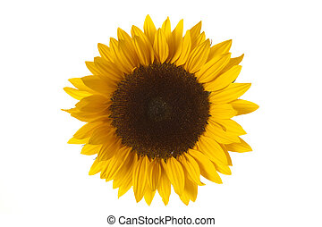 sun flower isolated on white background