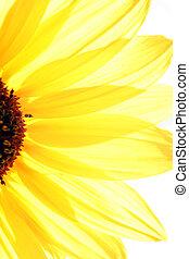 Sun Flower - Yellow sun flower