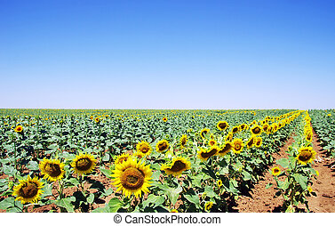 sun flowers field in south of Portugal