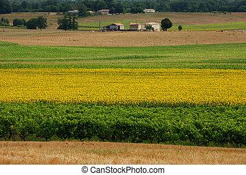 Sun-flowers field