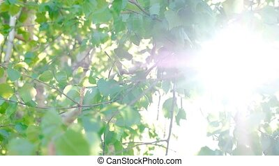Sun Glimmering through Birch Leaves In The Morning