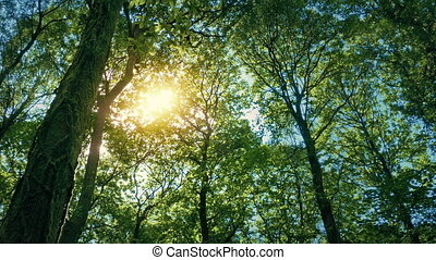 Sun Glows Through Tree Canopy - Tree tops above with the sun...
