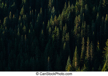 Sun Highlights Individual Trees in Pine Forest