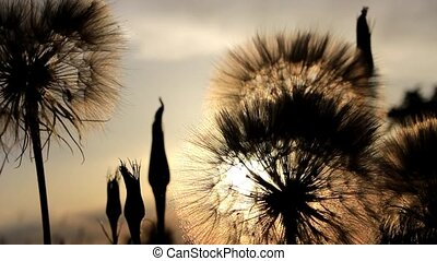 Sun in a dandelion - Sun rays through the fuzz of a large...