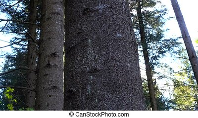 Sun is peep out from strong trunk of perennial fir, mighty...